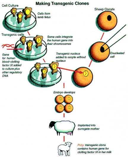 biotechnology in cloning Explore geneé handley's board biotechnology - cloning on pinterest | see more ideas about biotechnology, ap biology and biology.